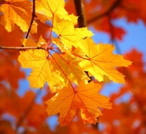Fall Foliage in yellow and orange